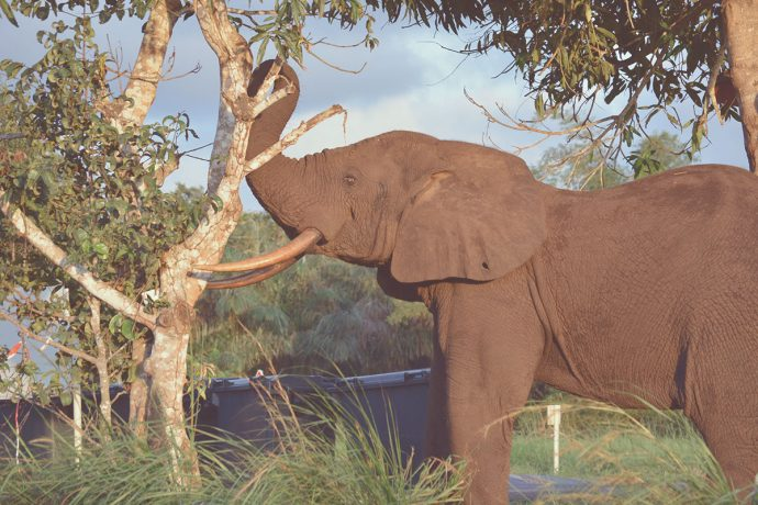 elephant Gabon